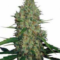 G13 Haze Regular Seeds - 18