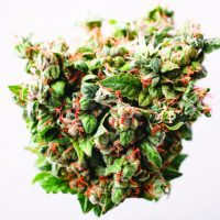Dooby Do's and Don'ts: What you need to know about marijuana in Colorado |  SummitDaily.com