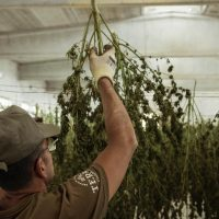 How Much Does A Marijuana Plant Yield? Average Yield Per Plant