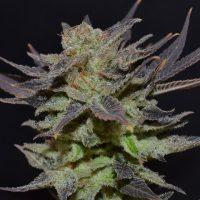 Lavender Auto Feminised Seeds