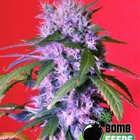 Berry Bomb Regular Seeds - 10
