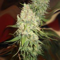 Blackberry OG CBD Feminised Seeds