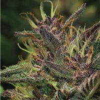 Blueberry Muffin Regular Seeds - 10