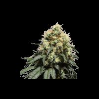Bruce Lemon Diesel Feminised Seeds - 8