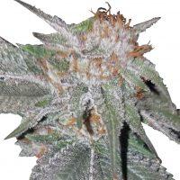 Bubba Kush x Nepal Jam Feminised Seeds (Limited Edition) - 5
