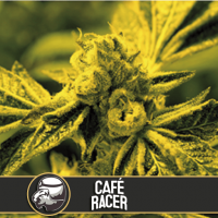 Café Racer Feminised Seeds