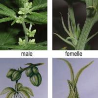 cannabis 5