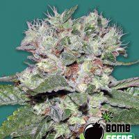 Bomb CBD Feminised Seeds
