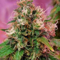 OG Kush CBD Feminised Seeds - 5