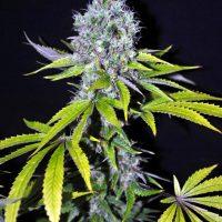 Yummy CBD Feminised Seeds - 5