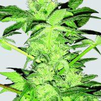 Chrystal Regular Seeds - 10