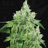 Citron Givré (Birthday Cake Selected) Feminised Seeds