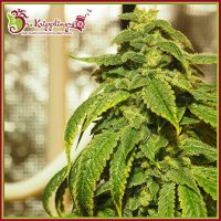D'oh Si D'ohpe Feminised Seeds