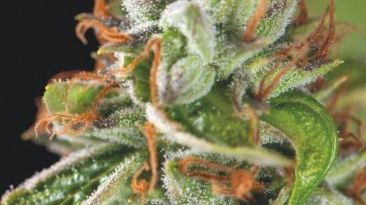 Double OG Haze Feminised Seeds