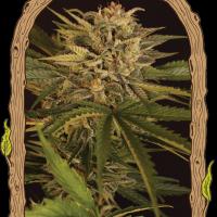Dr. Greenman Pure CBD Feminised Seeds