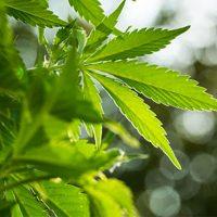 Marijuana (Weed, Cannabis) Drug Facts, Effects | NIDA for Teens