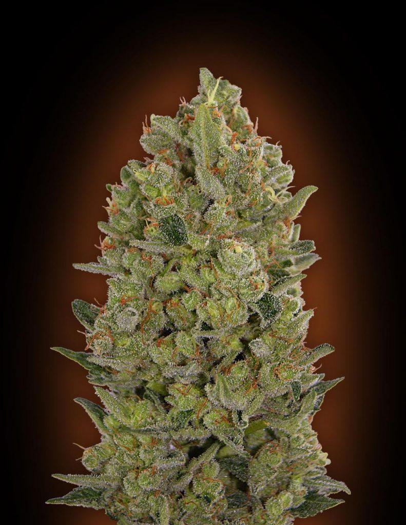 Female Collection #3 Feminised Seeds - 6