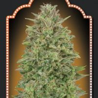 Female Collection #4 Feminised Seeds - 6