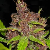 Purple Mazar Auto Regular Seeds - 8