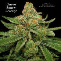 Queen Anne's Revenge Regular Seeds