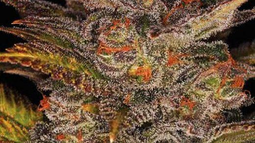 Blueberry Glue Auto (formerly Glueberry Auto) Feminised Seeds