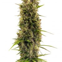 Golden Tiger Thai Dominant 3rd Version Feminised Seeds (Limited Edition) - 5