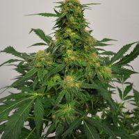 Harlequin Bx4 CBD Regular Seeds - 12