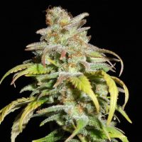 Harlequin CBD Feminised Seeds - 6