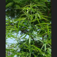 Highland Lao Regular Seeds