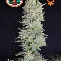 Hindu Cream Feminised Seeds