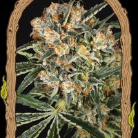 Hippie Therapy CBD Feminised Seeds