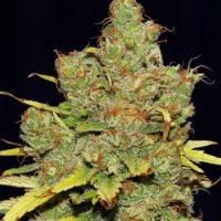 C99 x Blueberry FAST Feminised Seeds