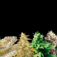 Indica Collection Feminised Seeds