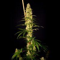 Island Sweet Barb Feminised Seeds - 6