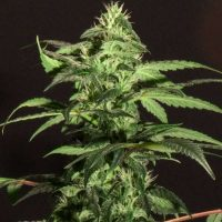 BC Jack Herer Feminised Seeds - 6