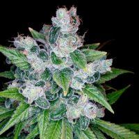 Kandy Kush Regular Seeds - 6