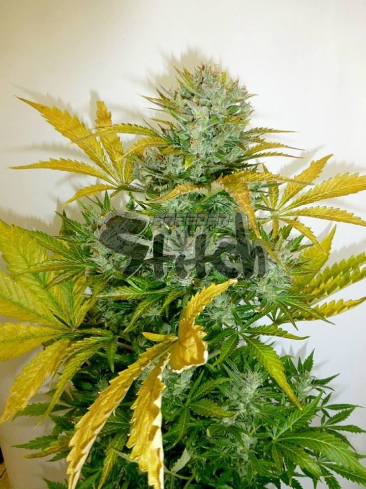 Kush Van Stitch Auto Regular Seeds - 8