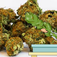 How Much Marijuana Can One Plant Produce? - ILGM