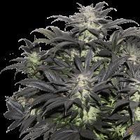 Lava Freeze Feminised Seeds - 8