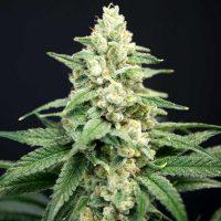 Lavender Barb Feminised Seeds - 6