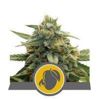 Mango Crunch Regular Seeds - 10