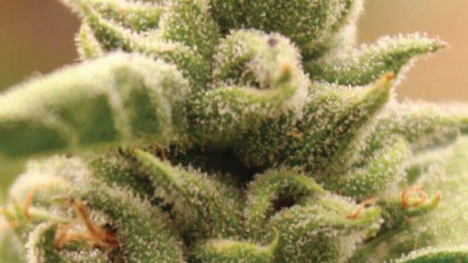 Mango Sherbert Feminised Seeds - 10
