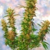 Mangolian Indica Regular Seeds - 10