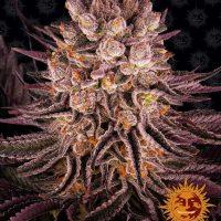 Mimosa x Orange Punch Feminised Seeds