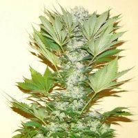 Misty Kush Feminised Seeds - 5