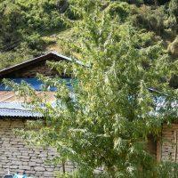 Nepal Annapurna Regular Seeds