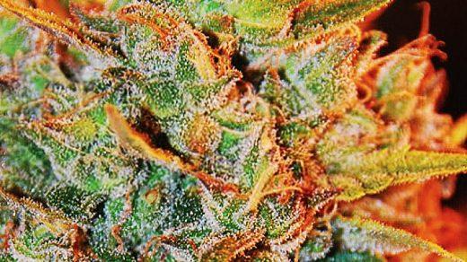 Northern Lights x Big Bud Auto Feminised Seeds