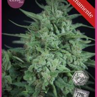 Novarine THCV:THC Feminised Seeds