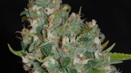 OG13 Feminised Seeds - 5