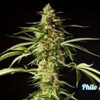 philo skunk-5